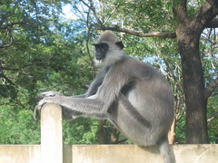 Tufted Gray Langur in Kataragama