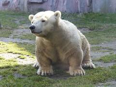 """Eisbär """"Antonia"""" (0,1)"""