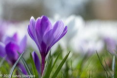 Spring has Sprung (Sandy Sharples) Tags: park white flower detail macro nature grass closeup march spring purple crocus