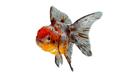 Goldfish (da nokkaew) Tags: pet white fish black color eye nature water monochrome beauty swimming aquarium colorful alone goldfish image background side exotic tropical crown pace aquatic fighting ornamental isolate