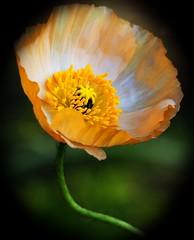 yellow Poppy (CardCollector & HobbyPhotographer) Tags: austria poppy ourgarden loweraustria olympusem5