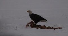 (M.J.H. photography) Tags: winter eagle connecticut baldeagle bald deer american deaddeer coventryct