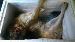 Road Kill (fat wreck) Tags: dog frozen roadkill germanshepherd dogmeat deaddog playdead splato founddeadonthesideoftheroad thatswhymumsgotoiceland