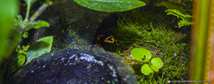 Black & Yellow Dart Frog (karlbadkin) Tags: park house bird chicken smile butterfly garden giant insect zoo aquarium golden countryside bush day katy eagle pheasant turtle hawk reptile snake wildlife sheffield nursery tortoise parrot peacock mothers lizard butter lemur toad owl otter cannon tropical karl gecko feed vulture poison macaw viper chameleon perry dart mothersday orrange falconry terrapin stickinsect rotherham trea lemar budgee alegator crockadile 550d fead mearkat badkin