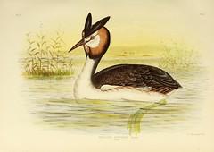 birds australia ornithology greatcrestedgrebe geo:country=australia taxonomy:binomial=podicepscristatus podicepscristatusaustralis harvarduniversitymczernstmayrlibrary taxonomy:binomial=podicepsaustralis bhl:page=43646989 dc:identifier=httpbiodiversitylibraryorgpage43646989 artist:name=graciusjosephbroinowski
