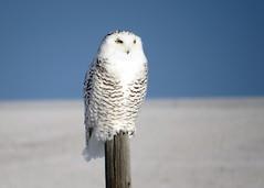 Mona Doebler - Snowy owl