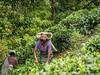 20150224-_1130087.jpg (IanRolo) Tags: srilanka forestedge teapicking ranjurawa