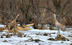 sandhill cranes calling at Cardinal Marsh IA 854A4880 (lreis_naturalist) Tags: county cardinal crane reis iowa larry marsh sandhill winneshiek