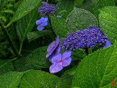 -  (snakecats) Tags: flower kyoto purple   hydrangea       lacecaphydrangea  shirakawaminamidoristreet