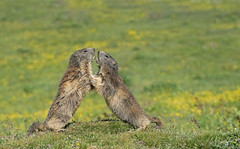 Alpine Marmot: Marmota marmota (renzodionigi) Tags: rodentia marmotta naturephotography marmota sciuridae chordata parconazionalegranparadiso