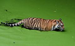 Young tiger girl (eowina) Tags: nature zoo tiger lodz