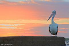 G'morning (renatonovi1) Tags: gmorning pelican sunrise monavale sydney nsw australia
