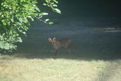 29/365/2951 (July 10, 2016) - Fox in the Backyard Today (Saline, Michigan) (cseeman) Tags: animals michigan wildlife fox saline project365 backyardanimals michiganfox backyardfox 2016project365coreys 356project2016 yearnineproject365coreys p365cs072016