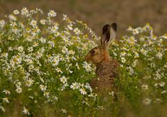 Hare Daisy-1 (gordyc57) Tags: hare field daisies