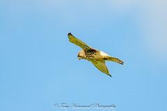 Kestral Hovering (phat5toe) Tags: kestral falcotinnunculus raptor prey flight birds avian feathers wildlife nature wigan nikon d7000 sigma150500