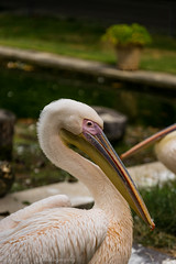 Pelikan (Dixde - Photography) Tags: natur pelikan bird vogel stuttgart wilhelma color colors zoo sony sonyalpha7ii sonyfe70200mmf4goss ilce7m2 zeiss