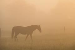 Horse in the Mist (Infomastern) Tags: horse mist fog sunrise landscape countryside soluppgng landskap dimma hst sdersltt landsbygd