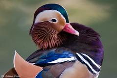 Anatra mandarina _005 (Rolando CRINITI) Tags: anatra anatramandarina uccelli uccello birds ornitologia genova natura