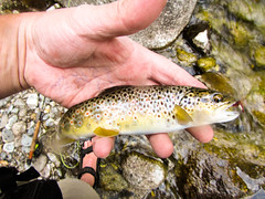 Brown Trout July 8 2016-0422 (houstonryan) Tags: camera brown art canon print photography for golden fly utah fishing focus photographer underwater ryan houston photograph flyfishing trout d20 flyfish houstonryan