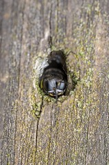 Digger wasp  (Ectemnius cephalotes) (stephensmith54831) Tags: macro wasp hymenoptera sbr200 crabronidae tokina100mm ectemniuscephalotes d7000