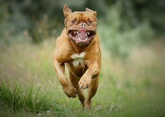 Kasha (laurencebissett) Tags: doguedebordeaux big scary cute