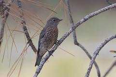 Western Bluebird (maractwin) Tags: birds palmsprings sanjacintostatepark westernbluebird california unitedstates us