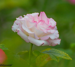 flower (discreet*(:[ )) Tags: canon 7d mark ii tamron 70300mm f456 vancouver queen elizabeth flower discreet bokeh depth field