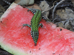 Banchettando (LauDot) Tags: reptile lizard lucertola coldblood rettile