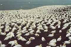 More Birds (Pedro fait de la Photo) Tags: asa400 francescocrisci fujifilm gaspesie filmreel