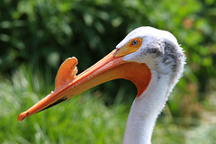 what's that thing on my bill?! (LotusMoon Photography) Tags: portrait bird animal closeup bill outdoor profile beak pelican horn americanpelican annasheradon