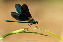 """Calopteryx splendens"" (Federico Prisco) Tags: nikon d7200 wildlife flickraward fly flickr fiumi libellula lemarche nature macro macromagister montagna esino sigma signa105macro macrodreams"