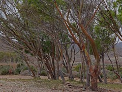 Eucaliptos en los Genoveses (AAcero) Tags: almeria cabodegata genoveses pentaxk3 pentax k3
