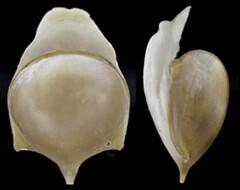 MOL_2684_C_tridentata_2684_01_276x218.gif (MaKuriwa) Tags: mollusca gastropoda thecosomata cavolinia cuvieriidae