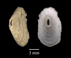 MOL_ 1724_D_sayi_2210_01_337x276.gif (MaKuriwa) Tags: mollusca gastropoda archaeogastropoda fissurellidae diodora