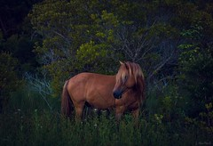 twilight stallion (Jen MacNeill) Tags: assateague island stallion horse wild equine md maryland wildlife nature pony twilight darkness chestnut