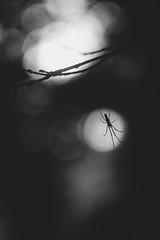 High lighting (justinejaudou) Tags: hlios 442 helios442 noiretblanc monochrome fond noir bokeh profondeurdechamp fondnoir araigne bug insect bois woods spider