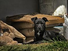 Clint Eastwood (Mariano Montes | HDsuperbikeVideos) Tags: perro perrito dog dogs callejero callejerito persio clinteastwood animal animales photography fotografia flickr flickrcordoba crdobaargentina argentina crdoba negro