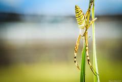 / Argiope bruennichi (March Hare1145) Tags: insect spider