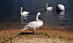 Swans (Paul Anthony Moore) Tags: swans coldspringharbor longisland newyork