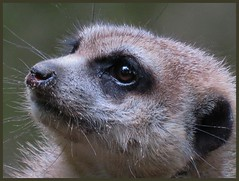 016671  C Stokstaartje (Ria en Reinier) Tags: animal mammal stokstaartje wilflife zoo border nature dierentuin sad beautiful zoogdier