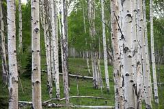 dixie forest - utah - usa - 01 (hors-saison) Tags: boulder usa utah dixie forest foret bouleaux birch tree trunk tronc