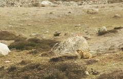 Himalayan marmot (siddarth.machado) Tags: marmotahimalayana himalayanmarmot mammal sikkim wildlife india northsikkim eastern himalayas