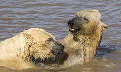 polarbears-25 (tiger3663) Tags: polar bears yorkshire wildlife park water