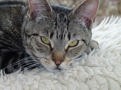 Masai ! (Mara 1) Tags: cat kitten pet animal tabby stripes face eyes ears whiskers paw indoors