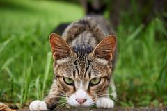 cat (NEKOFighter) Tags: cat neko straycat nikon japan