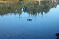 IMG_6798 (rafaeldeoliveira) Tags: curitiba paran brasil inverno winter geada freeze gelo parquebacacheri canon canoneosrebelt2i patos ducks