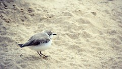Western snowy plover - Monterey bay Aquarium (Helene Iracane) Tags: fauna california usa monterey aquarium snowy plover birds bird feather feathers californie sand sable