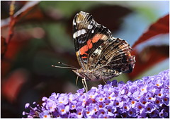 Red Admiral (jenny*jones) Tags: 668a2098 redadmiral vanessaatalanta nymphalidae brushfootedbutterfly lepidoptera budleja summer2016 westyorkshire gtbritain canon canon7dmarkii canon100mm28 naturephotography naturalworld