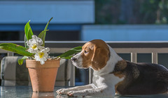Guardian of the Orchid (- Jan van Dijk) Tags: dog hond beagle orchid flower bloem blumen perro fleur hund orchidee chien