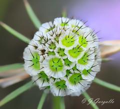 Verde y Blanca (J.Gargallo) Tags: canon eos eos450d espaa mosqueruela teruel tokina tokina100mmf28atxprod macro flores flor flower flowers fleur 450d canon450d jardn garden green verde